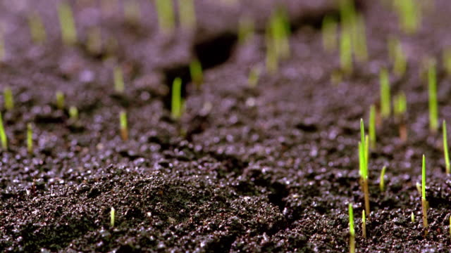 extreme close up time lapse grass sprouting from soil - grass family stock videos & royalty-free footage