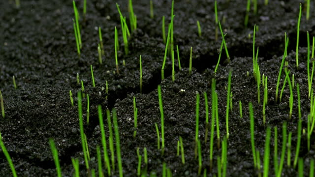 vídeos de stock, filmes e b-roll de extreme close up time lapse grass sprouting from soil - planta nova