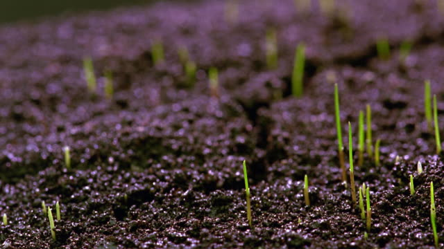 vídeos de stock, filmes e b-roll de extreme close up time lapse grass sprouting from soil - sparklondon