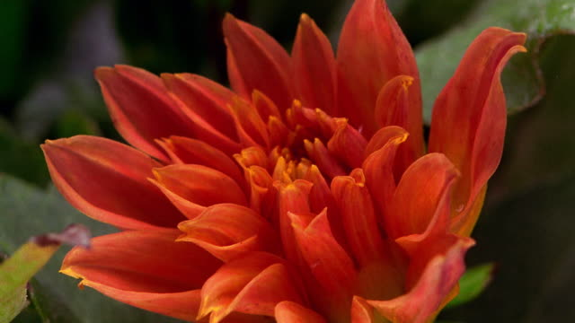 Extreme close up time lapse orange flower (dahlia) blooming