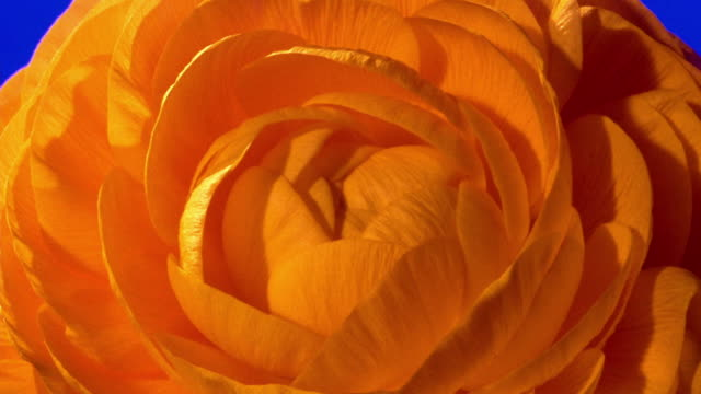 extreme close up time lapse petals of yellow rose blooming in front of blue background / starts to wilt - flower head stock videos & royalty-free footage