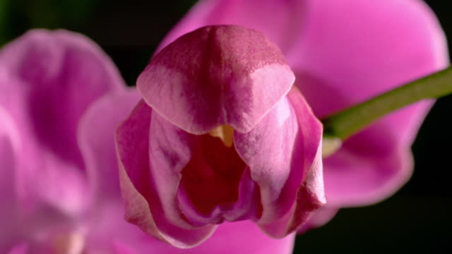 stockvideo's en b-roll-footage met extreme close up time lapse pink orchid blooming / other flowers in background - orchidee