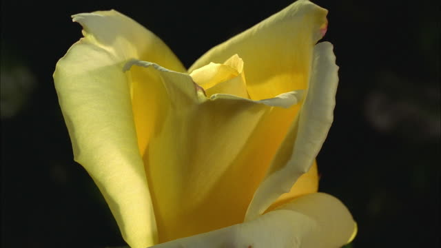 Extreme close up time lapse yellow flower opening and wilting against black background
