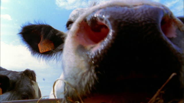 Extreme close up two cows w/tags in ears grazing on hay outdoors