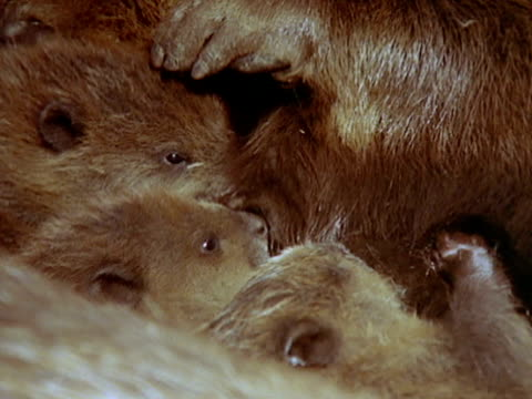 extreme close up - beaver stock videos & royalty-free footage