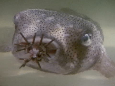 extreme close up - balloonfish stock videos and b-roll footage