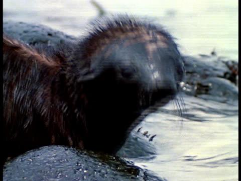 vídeos y material grabado en eventos de stock de extreme close up - foca peluda