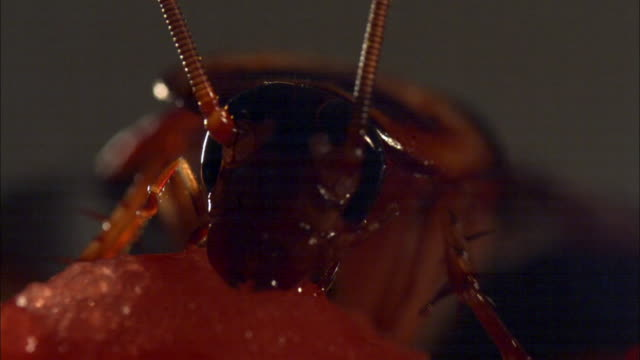 Extreme close up view of Cockroach eating