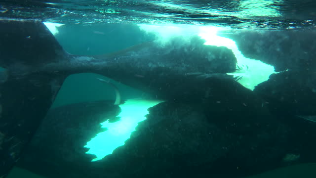 extreme close up view of two southern right whales mating at the surface, showing the highly mobile nature of the male's penis, nuevo gulf, valdes peninsula, argentina. - tierpenis stock-videos und b-roll-filmmaterial