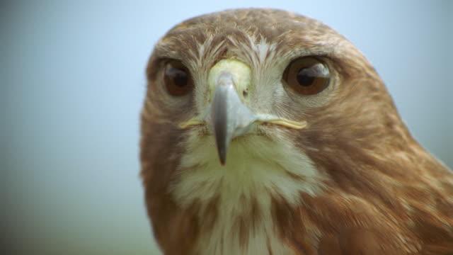vídeos y material grabado en eventos de stock de extreme close up zoom out portrait face of red-tailed hawk looking at camera / scotland - halcón