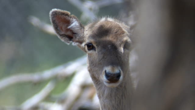 extreme close up-head of persian fallow deer (dama mesopotamica) looking towards camera - deer family stock videos and b-roll footage