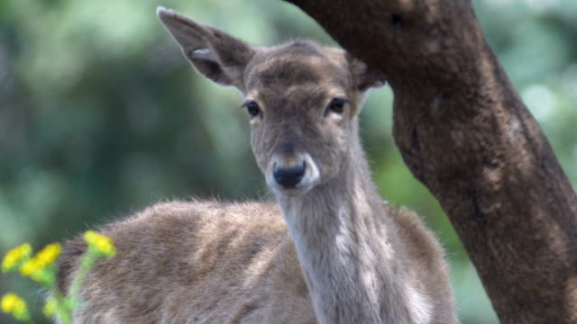 extreme close up-head of persian fallow deer (dama mesopotamica) - deer family stock videos and b-roll footage