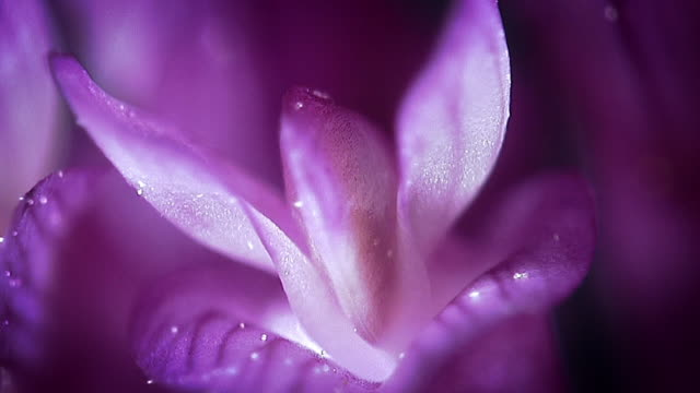 vidéos et rushes de extreme close ups of the petals of a purple flower - botanique
