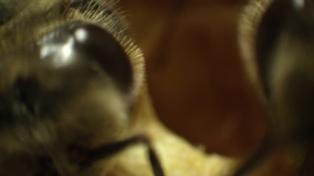 Extreme Close-Up Honeybees