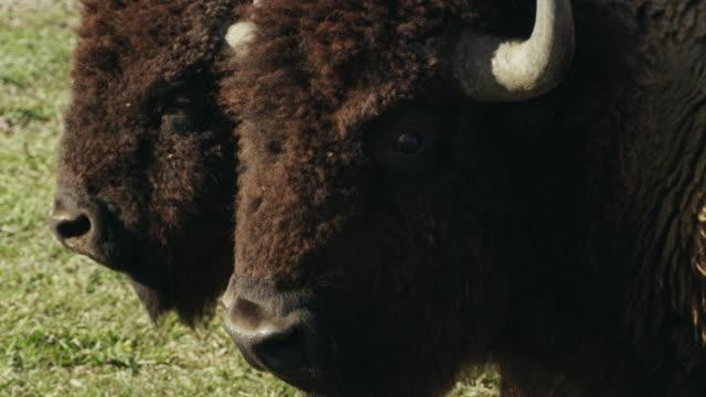 vídeos y material grabado en eventos de stock de extreme close-up, large american bison or buffalo looks at camera. - bisonte americano