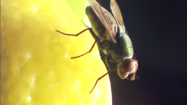 vídeos de stock, filmes e b-roll de extreme close-up of a house fly flying off a lemon wedge. - housefly