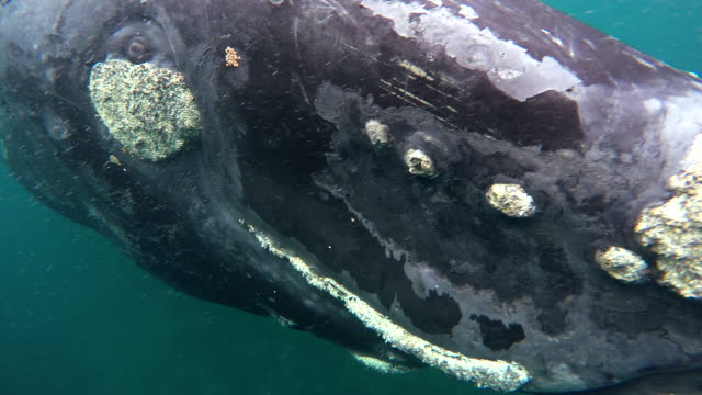 Extreme close-up of a juvenile southern right whale playing at the surface, Nuevo Gulf, Valdes Peninsula, Argentina.