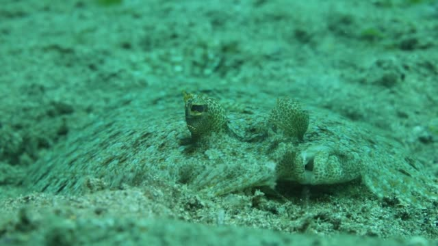 extreme close-up of a peacock flounder resting on the seabed - flounder stock videos & royalty-free footage
