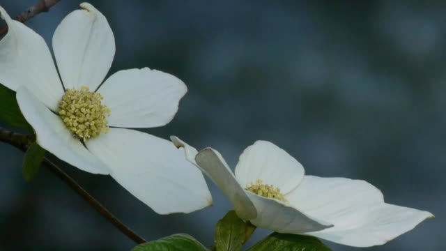 extreme closeup of dogwood blossoms with gently flowing merced river in background in yosemite national park, california - merced fluss stock-videos und b-roll-filmmaterial