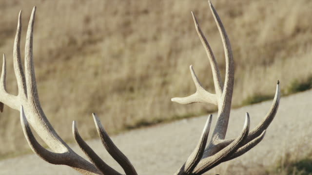 extreme close-up of elk's rack of antlers. - 枝角点の映像素材/bロール