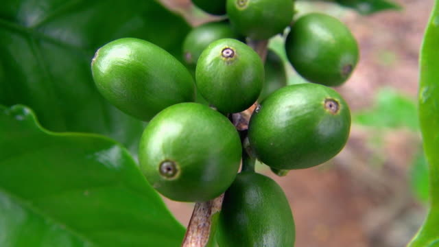 extreme close-up of green coffee beans - unripe stock videos and b-roll footage