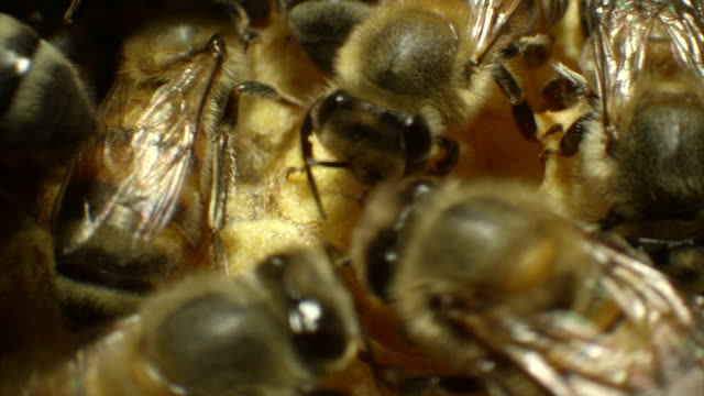 Extreme Close-Up of Honeybees