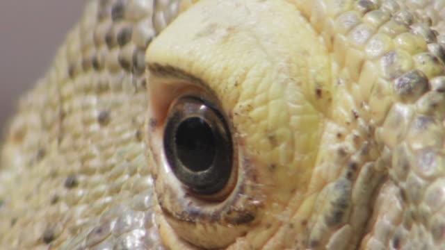 vídeos de stock e filmes b-roll de extreme close-up of komodo dragon's eye - réptil