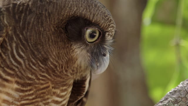 stockvideo's en b-roll-footage met extreme close-up of rufous owl looking down - klauw lichaamsdeel van dieren