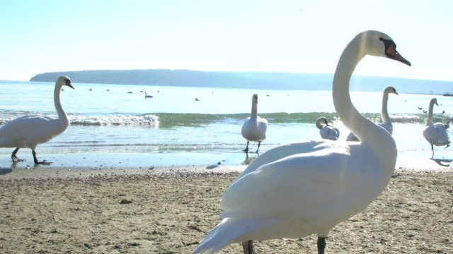 extreme close-up of swans and other birds on a beach during a cold winter day - bulgarien stock-videos und b-roll-filmmaterial