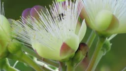 Extreme Close-up on Souari nut (Caryocar brasiliense).  Typical Savannah plant known as Pequi in Portuguese.