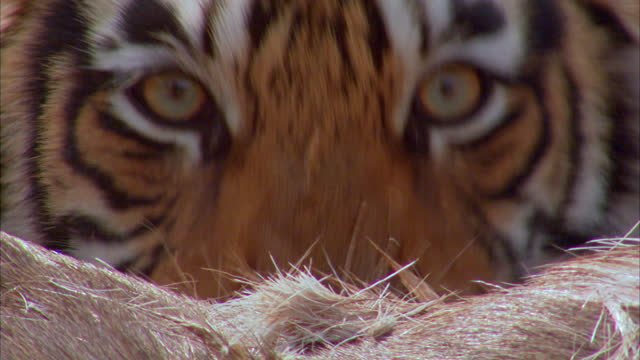 vidéos et rushes de extreme closeup shot of sub-adult tiger eating carcass and looking at camera - claw