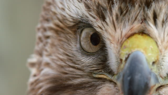extreme close-up shot of the face of a red-tailed hawk - becco video stock e b–roll