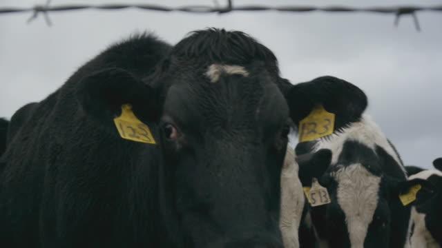 vídeos de stock e filmes b-roll de extreme cu of dairy cows looking at camera (slow mo) - vaca