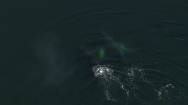"""""""Extreme Long Shot aerial push-in push-out tracking-right-Whales breach the surface of the ocean and spout water from their blowholes. / Alaska, USA"""""""