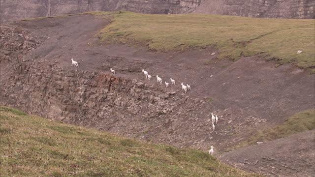 """extreme long shot tilt-up-dall sheep walk along the edge of a cliff. / alaska, usa"" - hooved animal stock videos & royalty-free footage"