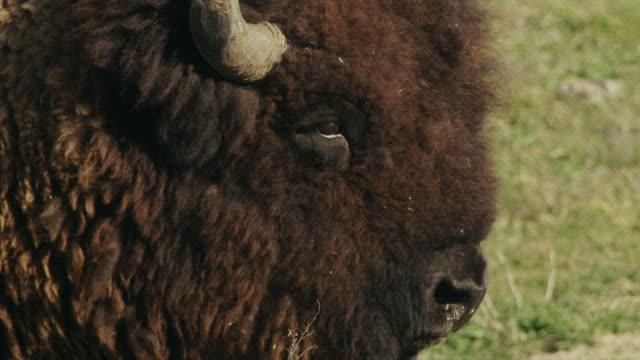 extreme profile of large american bison or buffalo. - アメリカバイソン点の映像素材/bロール