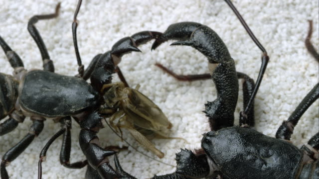 extreme tight shot of two giant vinegaroons fighting over a bug to eat. - scorpion stock videos & royalty-free footage