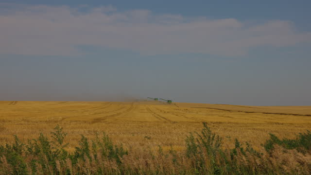 extreme wide shot of wheat fields blowing in wind with out of focus combines harvesting in background - grass family stock videos & royalty-free footage