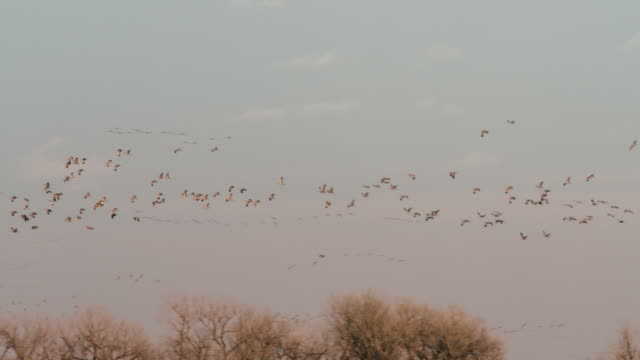vidéos et rushes de extreme wide shot - slow motion -  many flocks of sandhill cranes fly in the sky preparing to land for the night. - migration des animaux