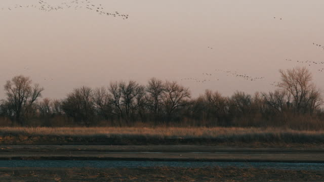 Extreme wide shot - thousands of Sandhill Cranes fly above the Platte River at dusk.