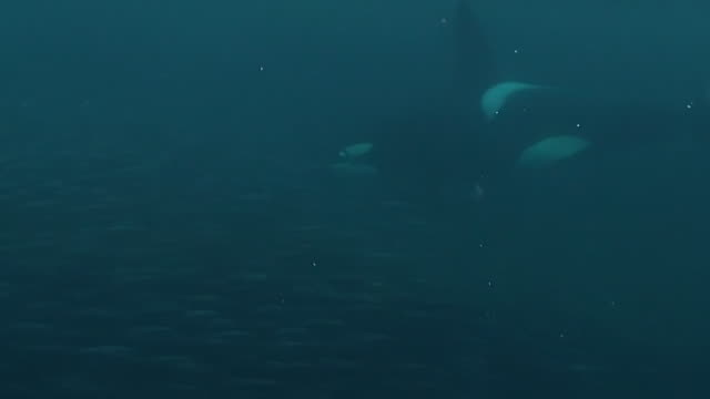 vidéos et rushes de extremely close in view of a large male orca attacking a herring bait ball and feeding. there is a close view of the mouth as the orca feeds, senja area of northern norway. - épaulard
