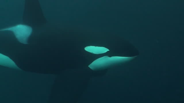 Extremely close in view of a large male orca swimming over a herring bait ball,  Andenes Gryllefjord area, Norway.