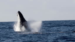 Extremely rare shot of a full Humpback Whale breach