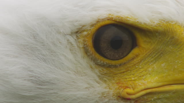 ecu eye and beak of african fish eagle as it looks around - african fish eagle stock videos & royalty-free footage