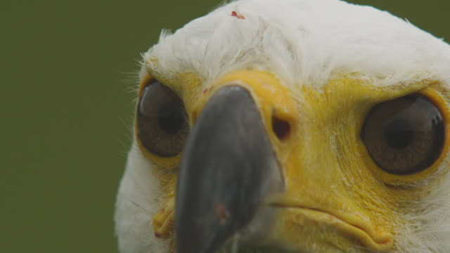 ecu eye and beak of african fish eagle as it looks down and around with camera movement - african fish eagle stock videos & royalty-free footage