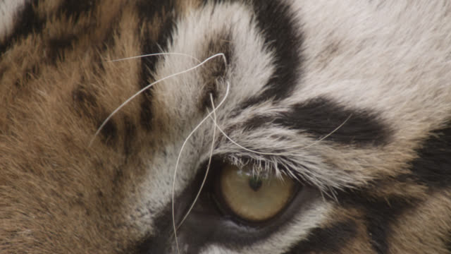 eye and face of bengal tiger (panthera tigris), bandhavgarh, india - animal eye stock videos & royalty-free footage
