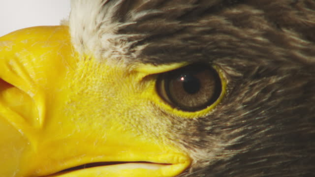 ECU eye and nostril of Stellers Sea Eagle as it turns its head