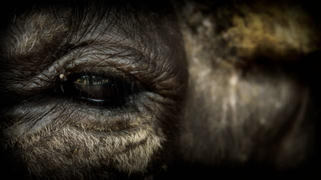4k: eye buffalo - american bison stock videos & royalty-free footage