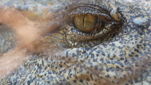 eye crocodile close-up - reptile stock videos and b-roll footage