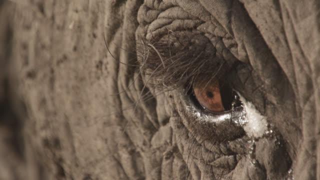 Eye of African elephant (Loxodonta africana), Kenya